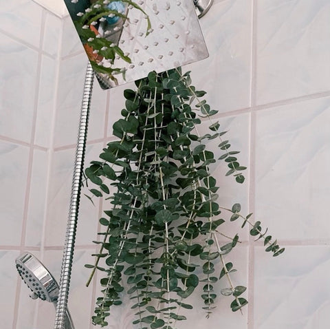fresh eucalyptus hangs from a shower