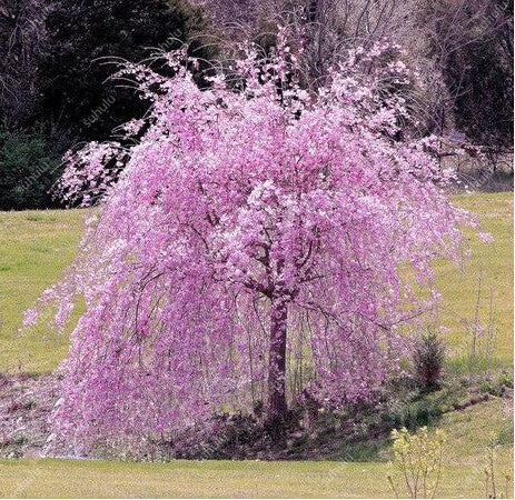 Sakura Tree Seeds Sakura Seeds Cherry Blossom Seeds Healthy RARE 20pcs/bag Mixed Color Planters