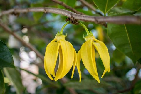 Ylang Ylang benefits for your dry skin and hair