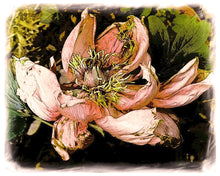Load image into Gallery viewer, Aging Gracefully, Peony