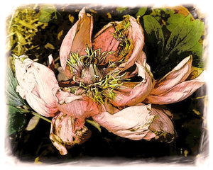 Aging Gracefully, Peony