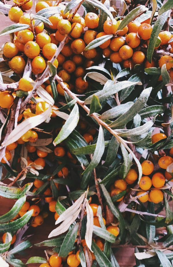 Sea buckthorn -  one of nature's small wonders