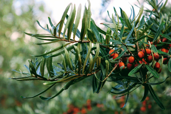 SEA BUCKTHORN - THE POWER BERRY OF THE NORTH