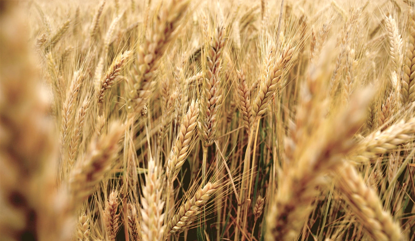 Wholesale Wheat
