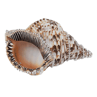 Jeweled Triton Shell Shell