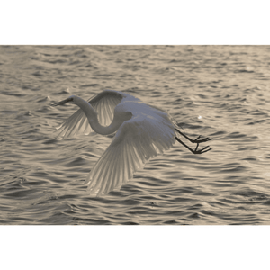 Egret Flying at Dusk, Giclee, Photography Art