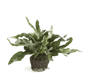 "Echeveria Fern Drop-In 11.5""h Greenery"