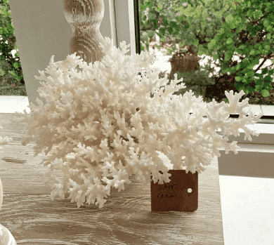 Small Lace Coral
