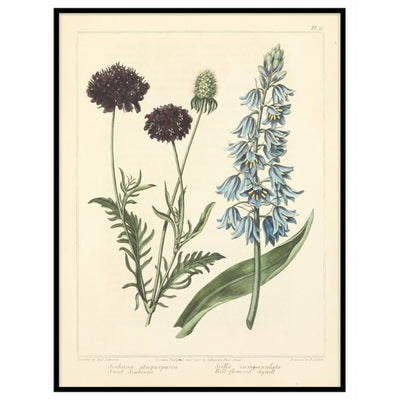 Sweet Scabious - Bell Flowered Squill