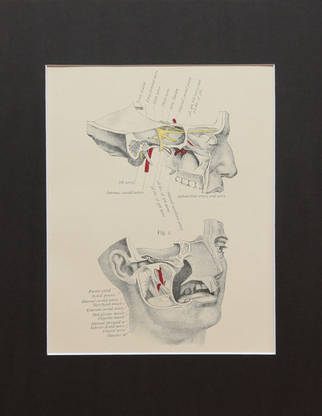 Matted Antique (c.1897) Anatomy Print, Plate III: Base of the Skull