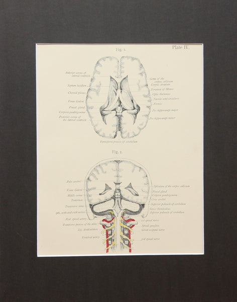 Matted Antique (c.1897) Anatomy Print, Plate IV: Brain Posterior