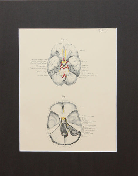 Matted Antique (c.1897) Anatomy Print, Plate V: Base of the Brain and Skull