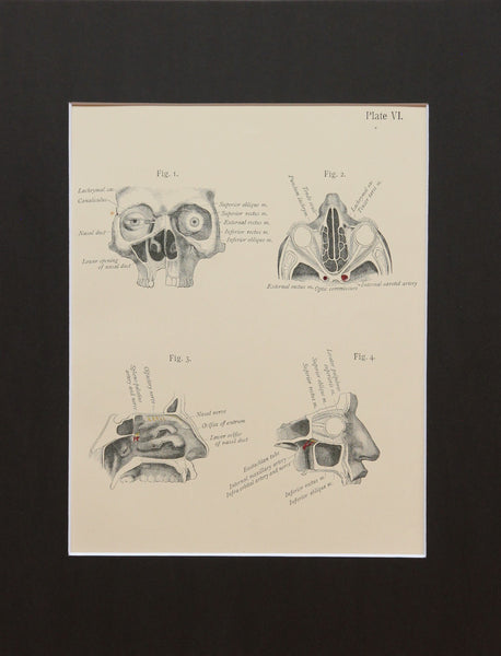 Matted Antique (c.1897) Anatomy Print, Plate VI: Orbits and Maxillary Bones