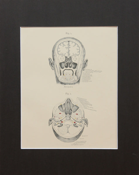 Matted Antique (c.1897) Anatomy Print, Plate VII: Sections of the Head