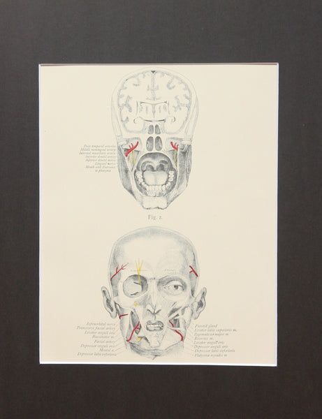 Matted Antique (c.1897) Anatomy Print, Plate VIII: The Skull and Face
