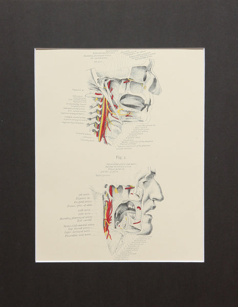Matted Antique (c.1897) Anatomy Print, Plate X: The Pharynx and Mouth