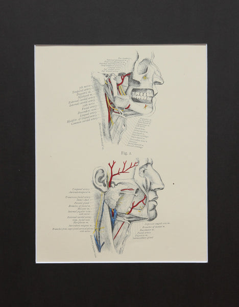 Matted Antique (c.1897) Anatomy Print, Plate XI: Dissection of the Neck