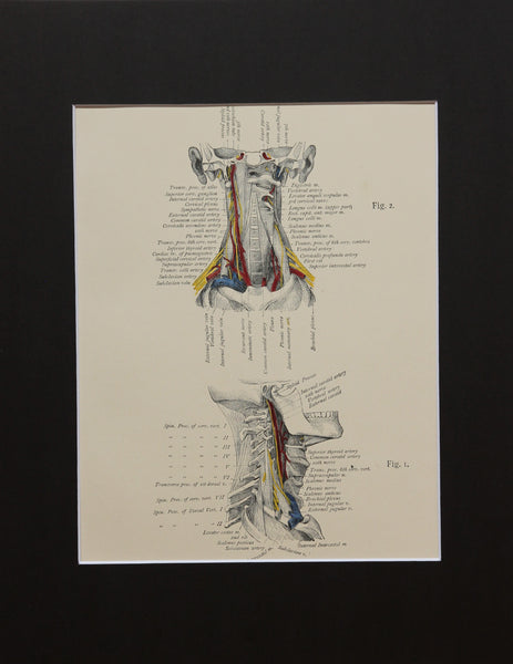 Matted Antique (c.1897) Anatomy Print, Plate XV: The Vertebral Column