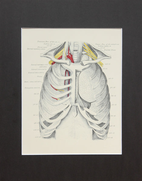 Matted Antique (c.1897) Anatomy Print, Plate XXII: The Thorax, Anterior View