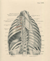 Matted Antique (c.1897) Anatomy Print, Plate XXIII: The Thorax, Posterior View