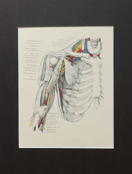 Matted Antique (c.1897) Anatomy Print, Plate XXVIII: The Axilla Opened Anteriorly