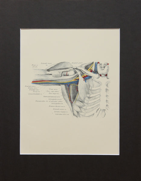 Matted Antique (c.1897) Anatomy Print, Plate XXIX: The Axilla with Biceps