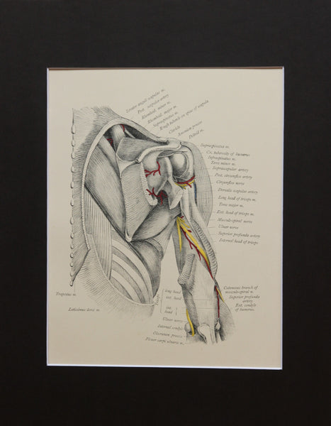 Matted Antique (c.1897) Anatomy Print, Plate XXXI: The Shoulder from Behind