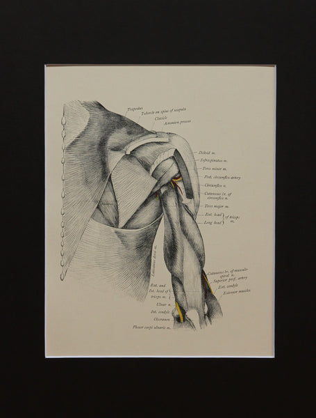Matted Antique (c.1897) Anatomy Print, Plate XXXII: The Shoulder and Muscles