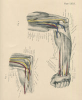 Matted Antique (c.1897) Anatomy Print, Plate XXXV: The Forearm Flexed