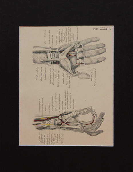 Matted Antique (c.1897) Anatomy Print, Plate XXXVIII: Radial Side of the Hand