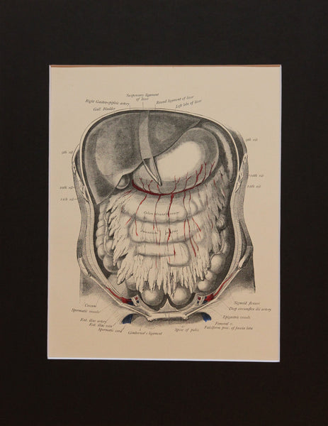 Matted Antique (c.1897) Anatomy Print, Plate XLV: Abdominal Cavity & Liver