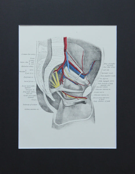 Matted Antique (c.1897) Anatomy Print, Plate LI: Lateral Wall of the Pelvis