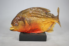 Load image into Gallery viewer, Piranha Taxidermy Mounted on Wood Base from Brazil