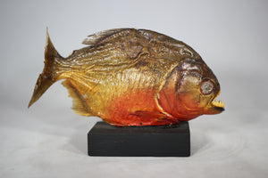Piranha Taxidermy Mounted on Wood Base from Brazil