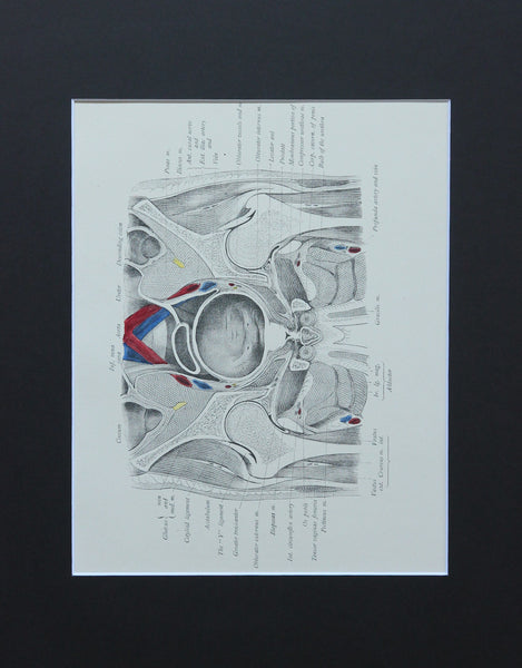 Matted Antique (c.1897) Anatomy Print, Plate LX: The Male Pelvis & Hip Joint