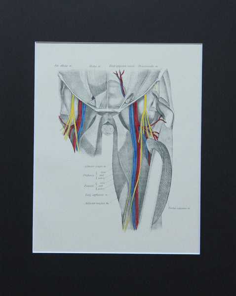 Matted Antique (c.1897) Anatomy Print, Plate LXVI: Hip Joint, Anterior View