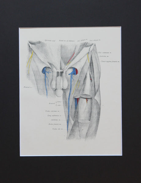 Matted Antique (c.1897) Anatomy Print, Plate LXVII: Hip Joint Region & Penis