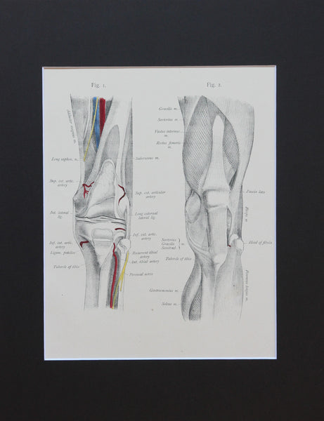 Matted Antique (c.1897) Anatomy Print, Plate LXVIII: The Knee Joint