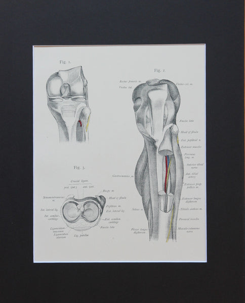 Matted Antique (c.1897) Anatomy Print, Plate LXIX: The Knee Joint