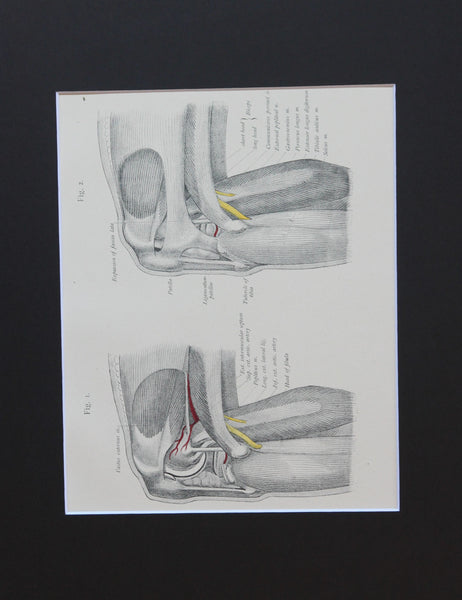 Matted Antique (c.1897) Anatomy Print, Plate LXXIII: The Knee Joint, Outer Side