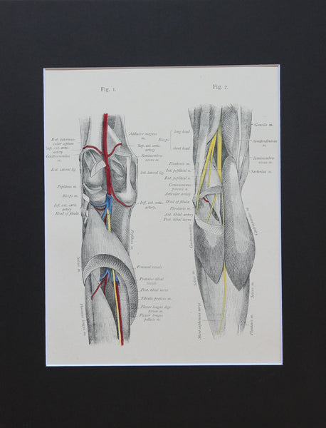 Matted Antique (c.1897) Anatomy Print, Plate LXXV: The Knee & Leg, Posterior View