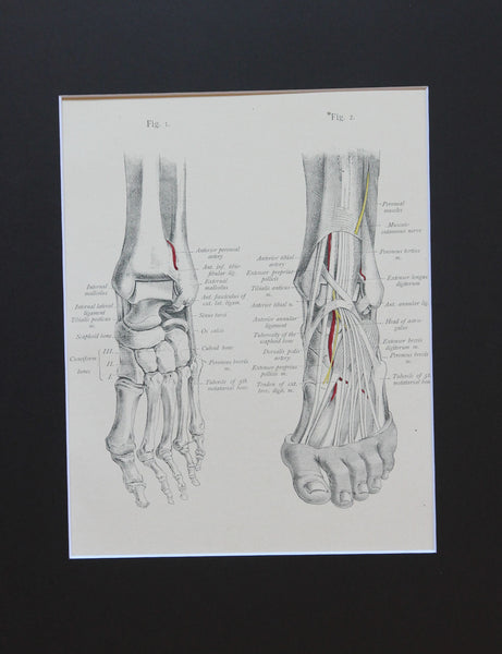 Matted Antique (c.1897) Anatomy Print, Plate LXXVI: The Foot, Skeleton & Muscles