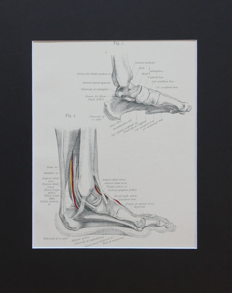Matted Antique (c.1897) Anatomy Print, Plate LXXVIII: The Foot, Inner Side