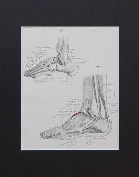 Matted Antique (c.1897) Anatomy Print, Plate LXXIX: The Foot, Outer Side