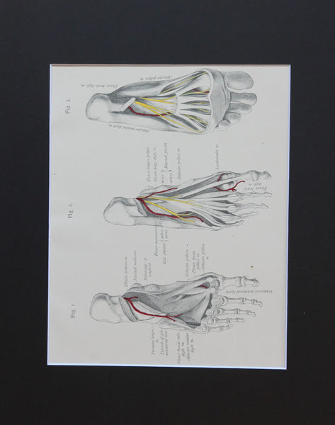Matted Antique (c.1897) Anatomy Print, Plate LXXXI: The Sole of the Foot