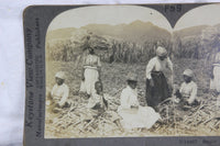 Preparing Sugar Cane Stock for Planting, West Indies - Keystone Stereo Card