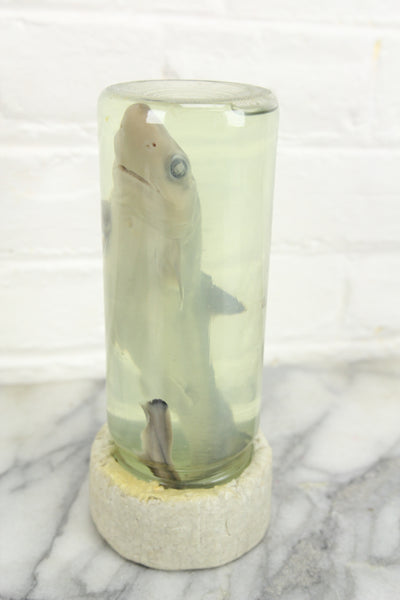 Wet Specimen Taxidermy Shark