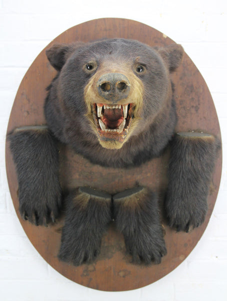 Victorian Black Bear Taxidermy Mount with Paws on Wood Shield