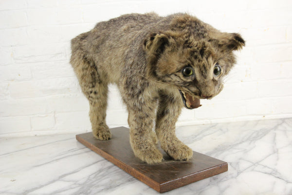 Vintage Bobcat Taxidermy Full Body Mount on Wood Base