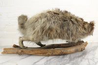 Vintage Raccoon Taxidermy Full Body Mount on Wood Logs